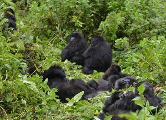 A Mountain Gorilla community in Virunga National Park Photo Credit: Dian Fossey Gorilla Fund International